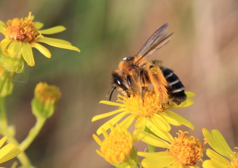 6_abeille+